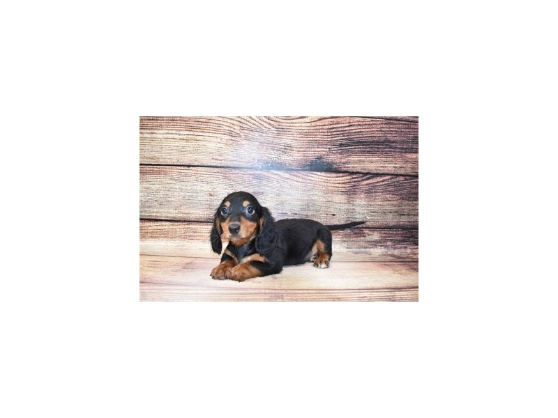 Dachshund-DOG-Male-Black and Tan-3089339-PetCenter Old Bridge Puppies For Sale