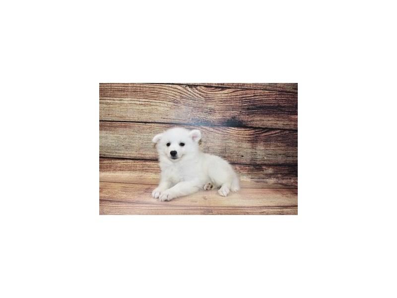 American Eskimo-Male-White-3089343-PetCenter Old Bridge Puppies For Sale