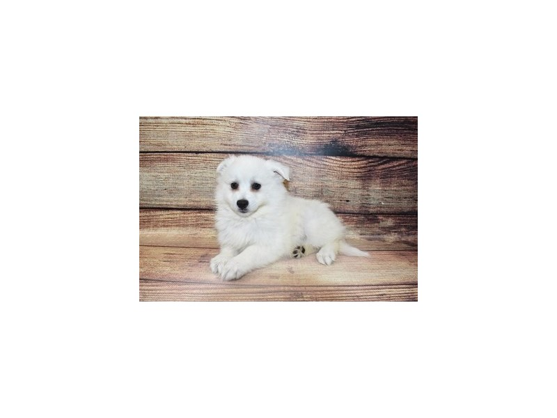 American Eskimo-DOG-Female-White-3089352-PetCenter Old Bridge Puppies For Sale