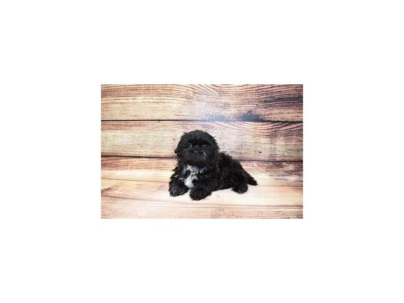 Shih Tzu-Male-Black-3089353-PetCenter Old Bridge Puppies For Sale