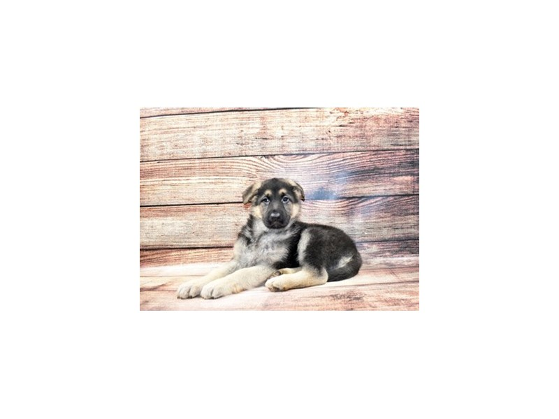 German Shepherd-DOG-Male-Black and Tan-3089376-PetCenter Old Bridge Puppies For Sale