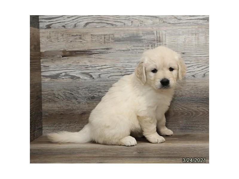 Golden Retriever-Female-Cream-3099915-PetCenter Old Bridge Puppies For Sale