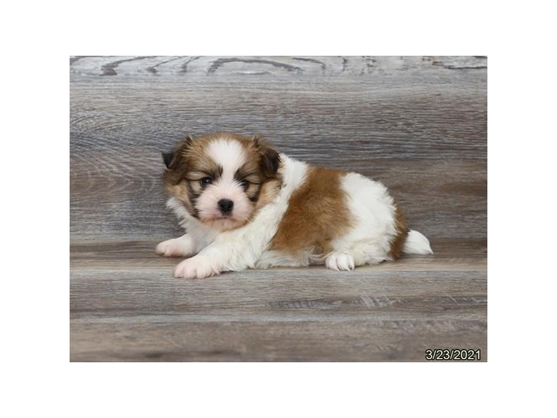 Shiranian-DOG-Male-Sable-3099917-PetCenter Old Bridge Puppies For Sale