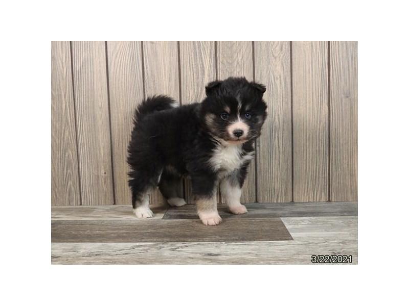 Pomsky-DOG-Female-Black Tan / White-3099920-PetCenter Old Bridge Puppies For Sale