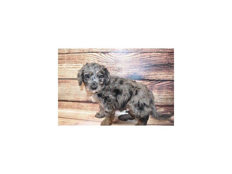 Mini Goldendoodle-DOG-Male-Merle-3100360-PetCenter Old Bridge Puppies For Sale