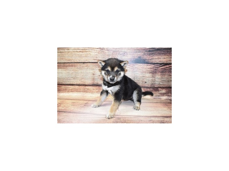 Shiba Inu-DOG-Male-Black and Tan-3100486-PetCenter Old Bridge Puppies For Sale