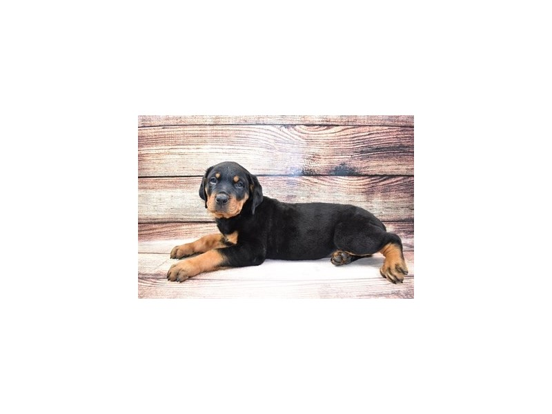 Rottweiler-Female-Black and Mahogany-3100490-PetCenter Old Bridge Puppies For Sale