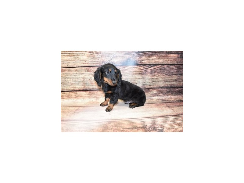 Dachshund-DOG-Male-Black and Tan-3100550-PetCenter Old Bridge Puppies For Sale