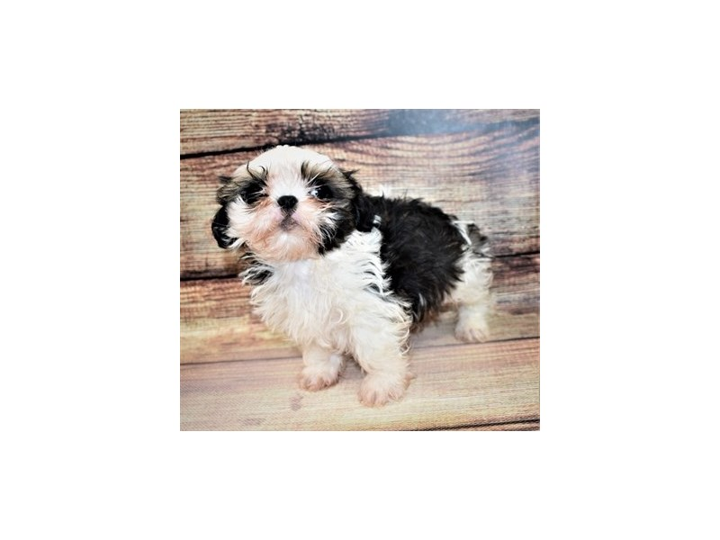 Shih Tzu-Female-Gold and White-3100585-PetCenter Old Bridge Puppies For Sale