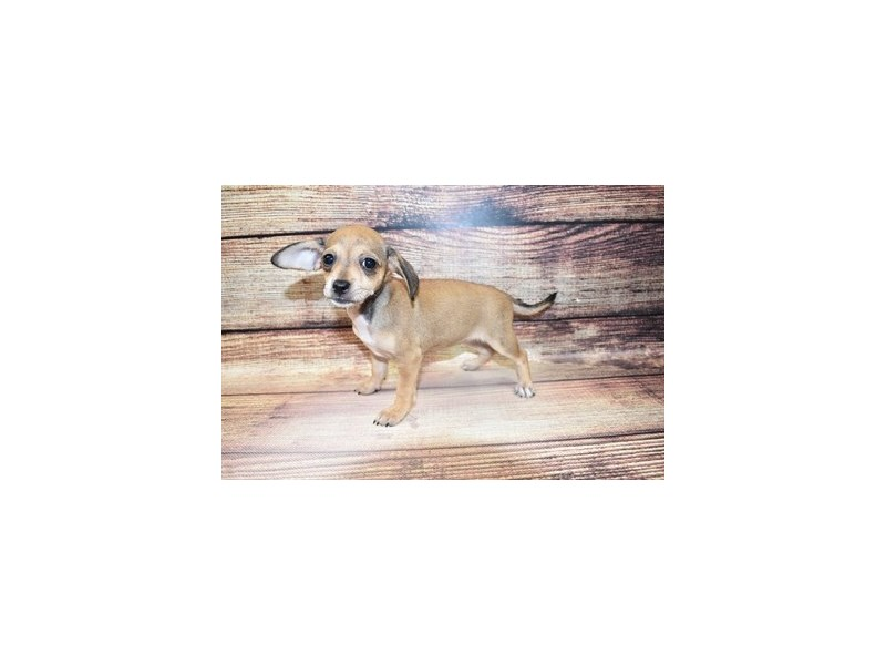 Chiweenie-DOG-Female-Fawn-3100634-PetCenter Old Bridge Puppies For Sale