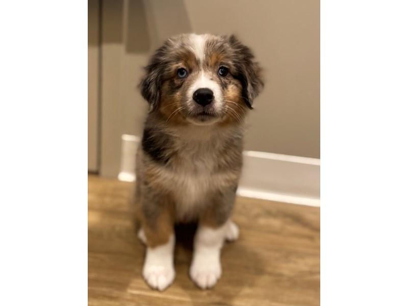 Miniature Australian Shepherd-Male-Blue Merle-3099916-PetCenter Old Bridge Puppies For Sale