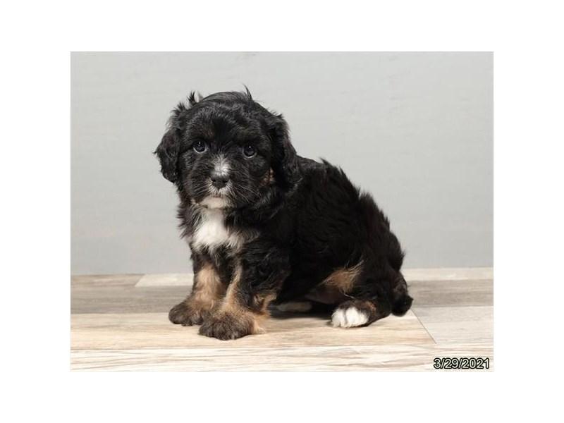 Cavapoo-Female-Black-3110496-PetCenter Old Bridge Puppies For Sale