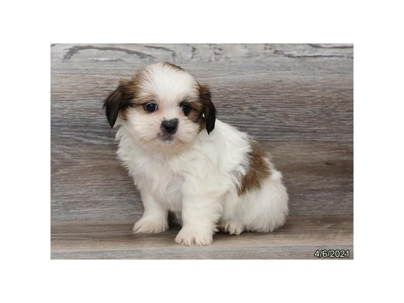 Shih Tzu-Female-White / Sable-3110498-PetCenter Old Bridge Puppies For Sale