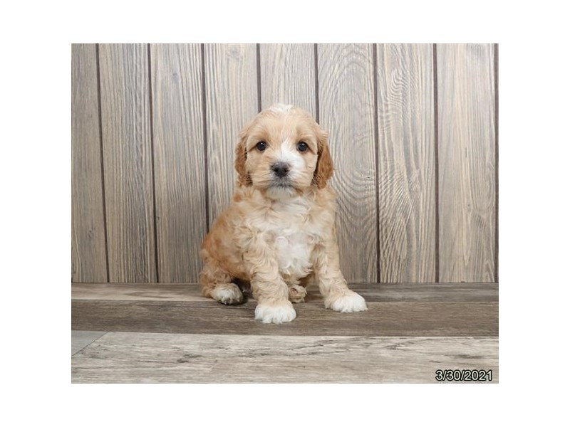 Cock A Poo-DOG-Male-Buff / White-3110499-PetCenter Old Bridge Puppies For Sale