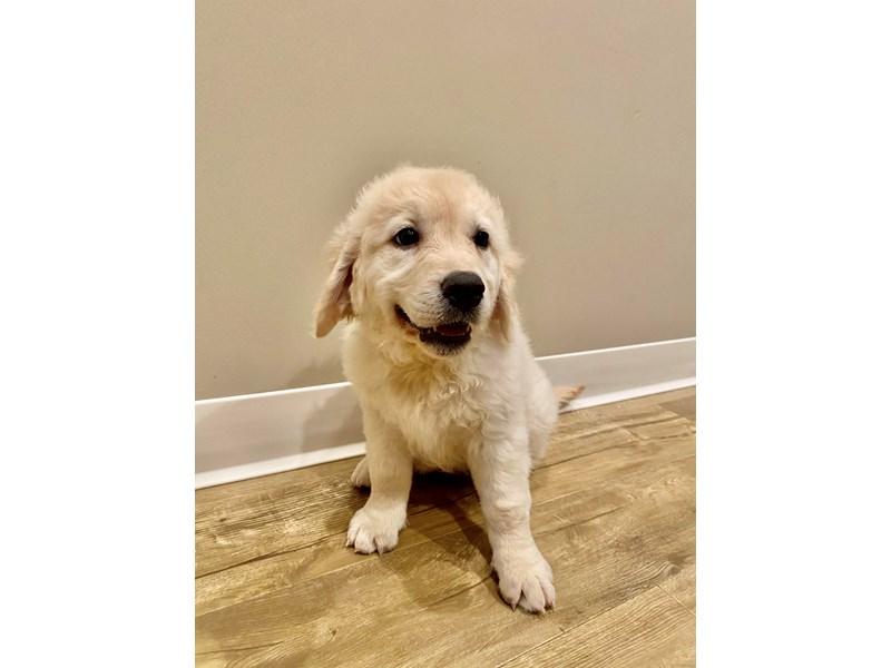 Golden Retriever-Female-Cream-3110505-PetCenter Old Bridge Puppies For Sale