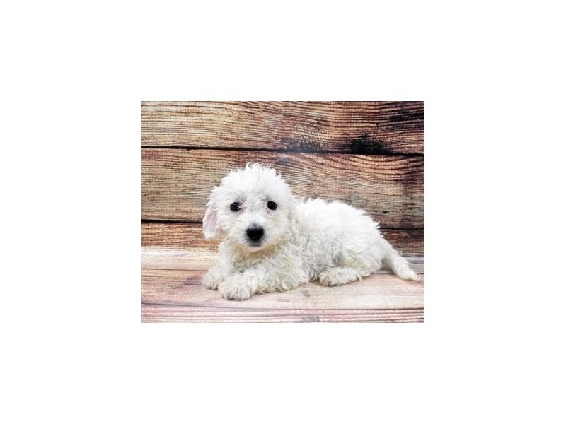 Bichon Frise-Male-White-2965120-PetCenter Old Bridge Puppies For Sale