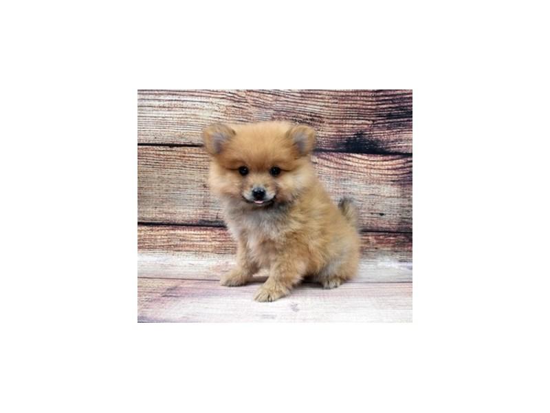 Pomeranian-Male-Orange-2965134-PetCenter Old Bridge Puppies For Sale