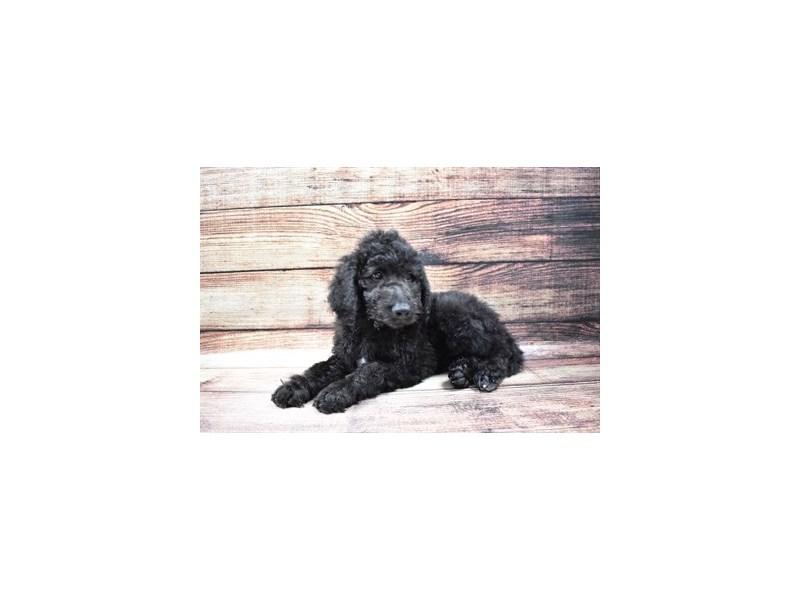 Goldendoodle 2nd Gen-DOG-Female-Black-3045725-PetCenter Old Bridge Puppies For Sale
