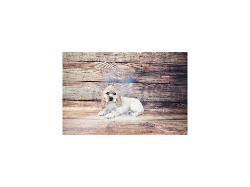 Cocker Spaniel-Female-Buff-3056750-PetCenter Old Bridge Puppies For Sale