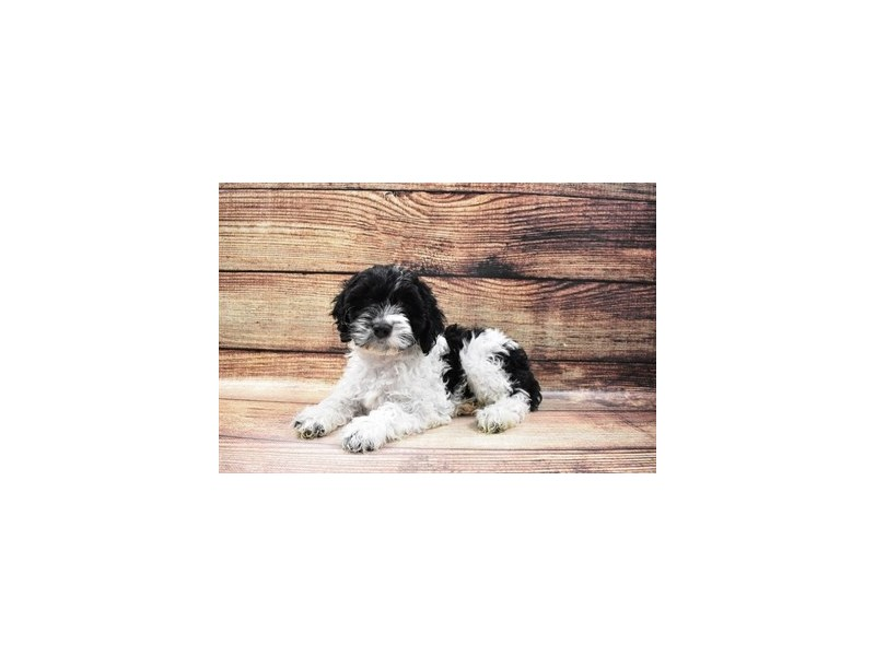 Cockapoo-Male-Black and White-3056762-PetCenter Old Bridge Puppies For Sale
