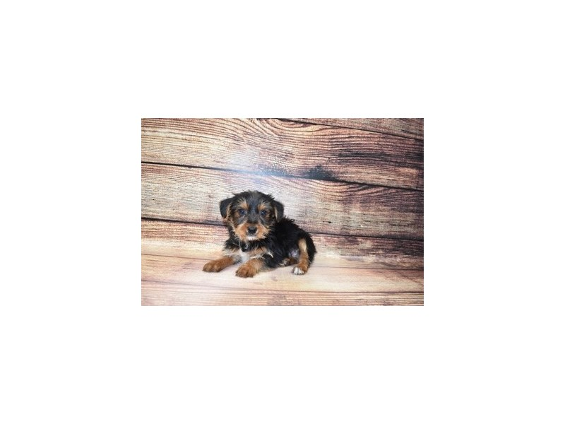 Yorkshire Terrier-DOG-Male-Black and Tan-3078348-PetCenter Old Bridge Puppies For Sale