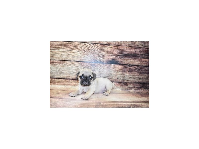 Pug-Male-Fawn-3078389-PetCenter Old Bridge Puppies For Sale