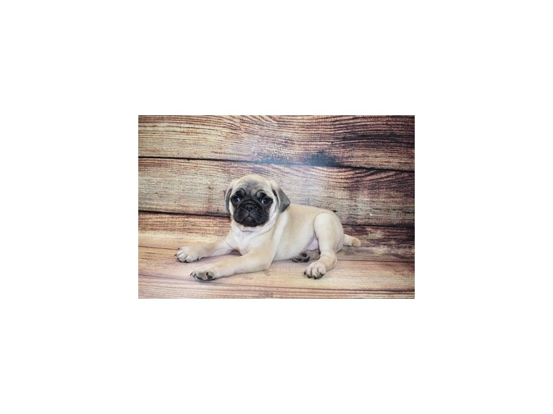 Pug-Male-Fawn-3078454-PetCenter Old Bridge Puppies For Sale