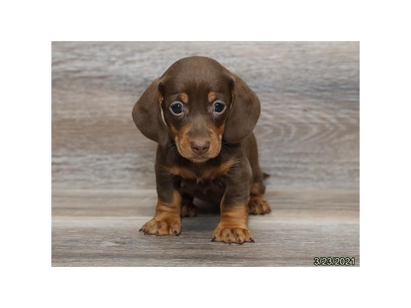Dachshund-DOG-Female-Chocolate and Tan-3099918-PetCenter Old Bridge Puppies For Sale
