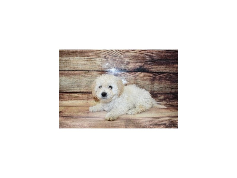 Bichon Poo-DOG-Male-Cream and White-3100395-PetCenter Old Bridge Puppies For Sale