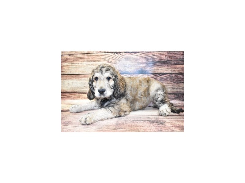 Goldendoodle-Male-Brown and Apricot-3100416-PetCenter Old Bridge Puppies For Sale