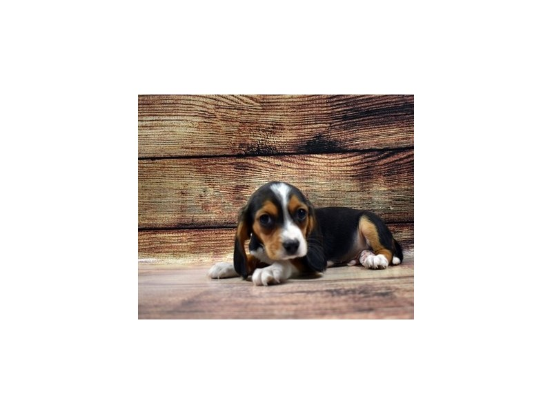 Beaglier-Male-Black White and Tan-3100577-PetCenter Old Bridge Puppies For Sale