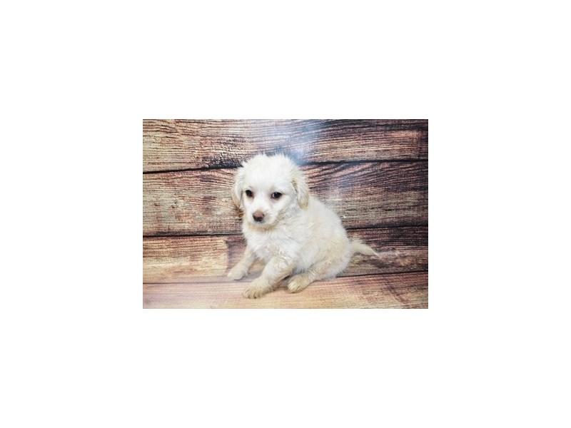 Malti-Poo-DOG-Male-Cream-3100629-PetCenter Old Bridge Puppies For Sale