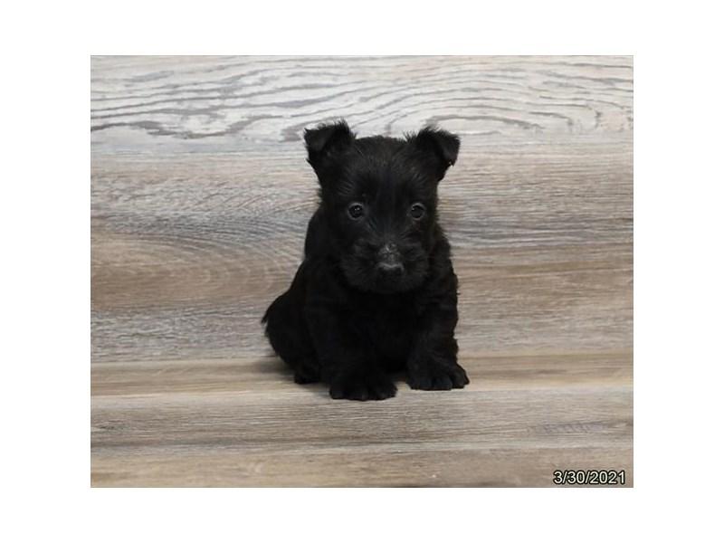 Scottish Terrier-Male-Black-3110501-PetCenter Old Bridge Puppies For Sale