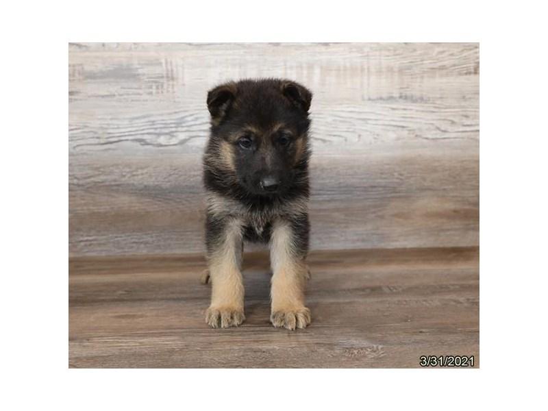 German Shepherd Dog-DOG-Male-Black / Red-3110503-PetCenter Old Bridge Puppies For Sale
