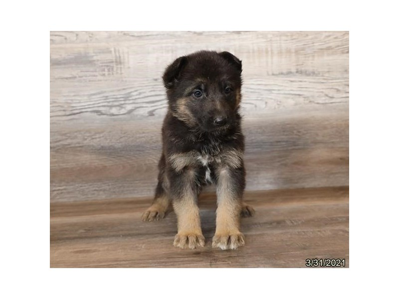 German Shepherd Dog-Female-Black / Red-3110504-PetCenter Old Bridge Puppies For Sale