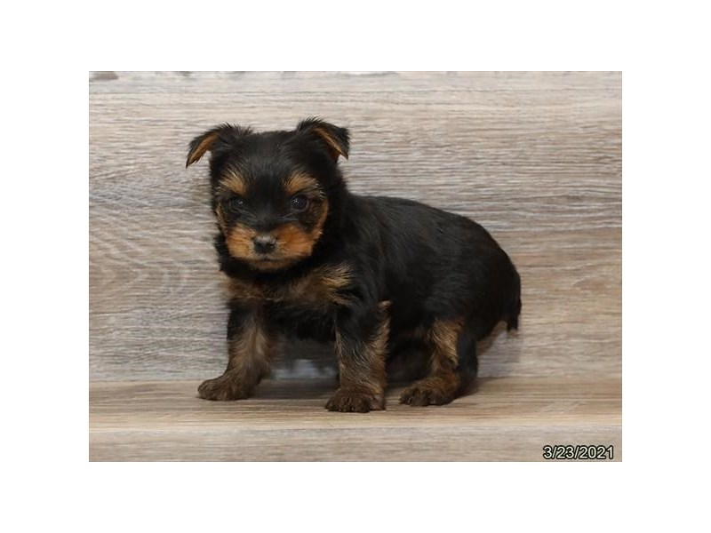 Yorkshire Terrier-DOG-Male-Black / Tan-3110507-PetCenter Old Bridge Puppies For Sale