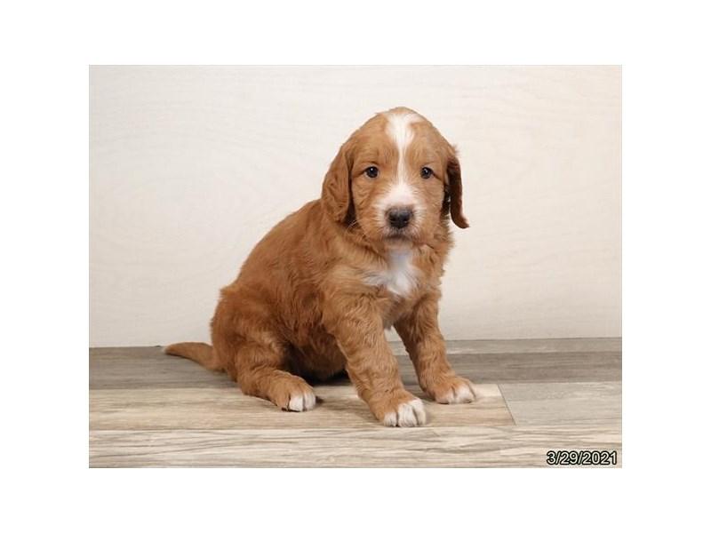 Goldendoodle-DOG-Female-Golden-3110569-PetCenter Old Bridge Puppies For Sale