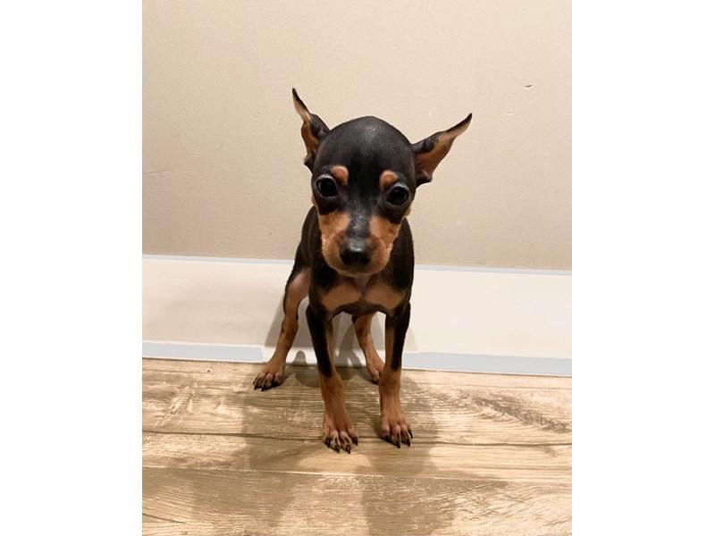 Miniature Pinscher-Male-Black / Rust-3110502-PetCenter Old Bridge Puppies For Sale