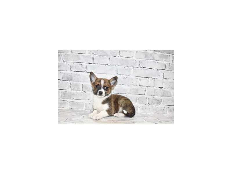 Pomchi-DOG-Male-Brindle and White-3111521-PetCenter Old Bridge Puppies For Sale