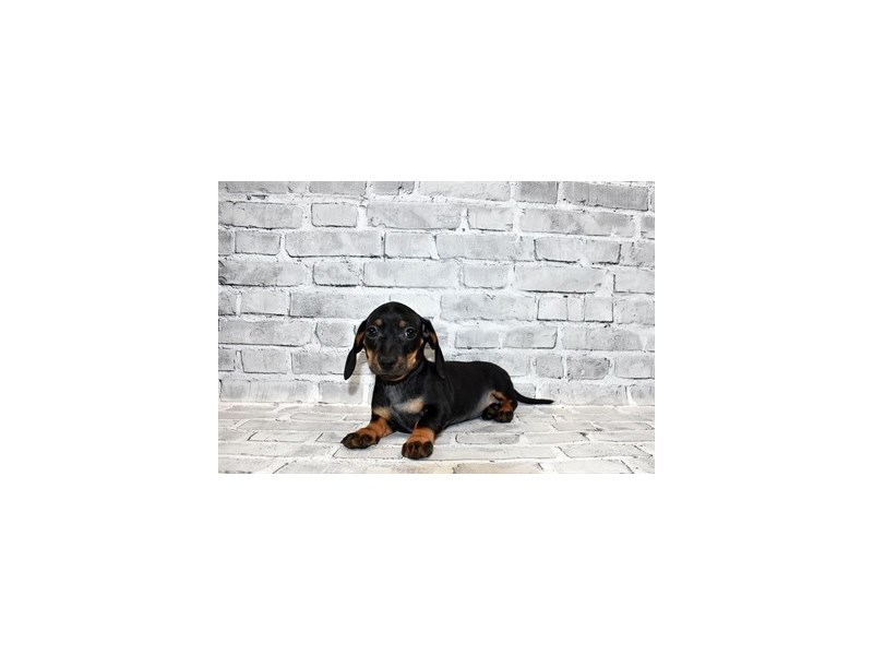 Dachshund-Female-Black and Tan-3111530-PetCenter Old Bridge Puppies For Sale