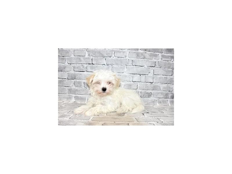 Maltese-Male-White-3111539-PetCenter Old Bridge Puppies For Sale