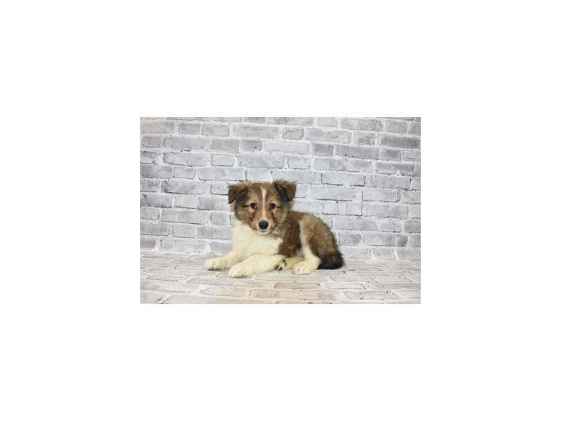 Shetland Sheepdog-DOG-Male-Sable and White-3111624-PetCenter Old Bridge Puppies For Sale