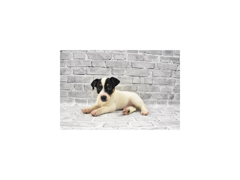 Jack Russell Terrier - Coming Soon-DOG-Male-White Black and Tan-3121247-PetCenter Old Bridge Puppies For Sale