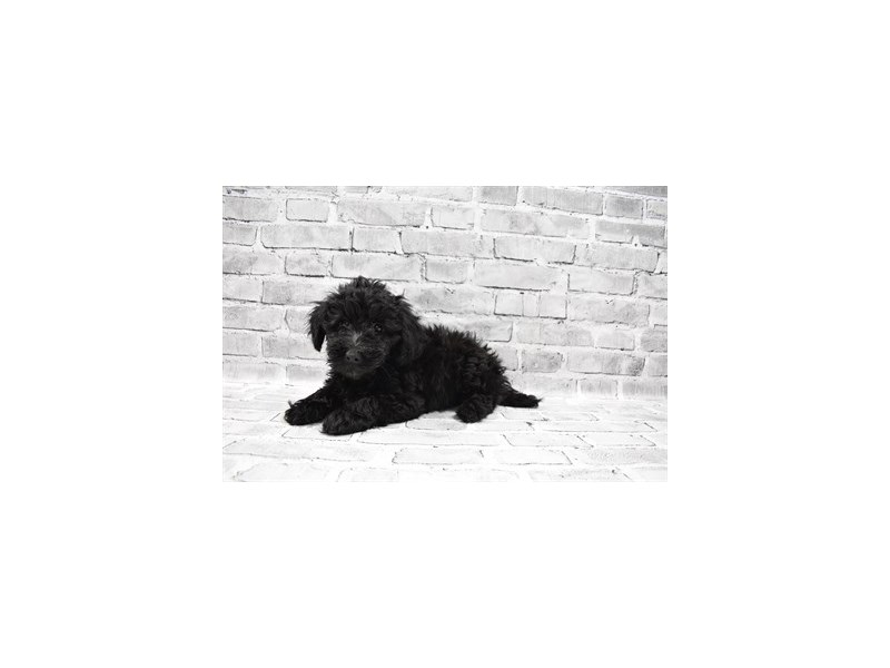 Aussiepoo - Coming Soon-DOG-Female-Black-3121252-PetCenter Old Bridge Puppies For Sale