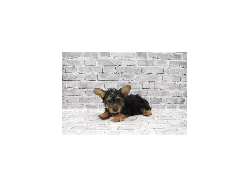 Silky Terrier - Coming Soon-DOG-Male-Black and Tan-3121261-PetCenter Old Bridge Puppies For Sale