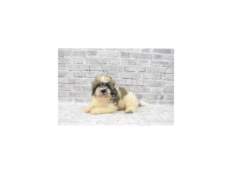 Shih Tzu - Coming Soon-Male-Gold and White-3121266-PetCenter Old Bridge Puppies For Sale