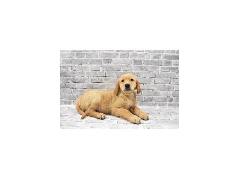 Golden Retriever - Coming Soon-Male-Golden-3121272-PetCenter Old Bridge Puppies For Sale