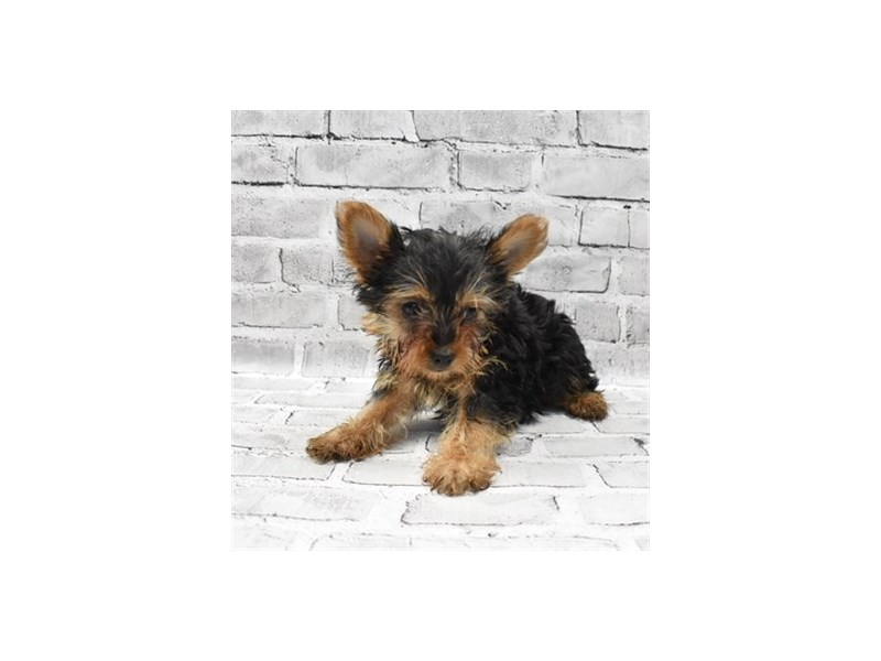 Yorkshire Terrier - Coming Soon-DOG-Male-Black and Tan-3121286-PetCenter Old Bridge Puppies For Sale