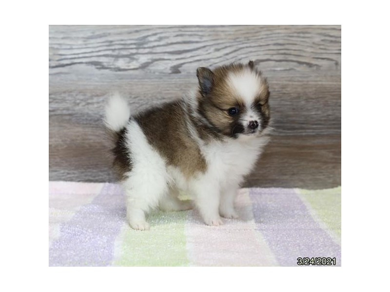 Pomeranian - Coming Soon-Male-Sable / White-3121598-PetCenter Old Bridge Puppies For Sale