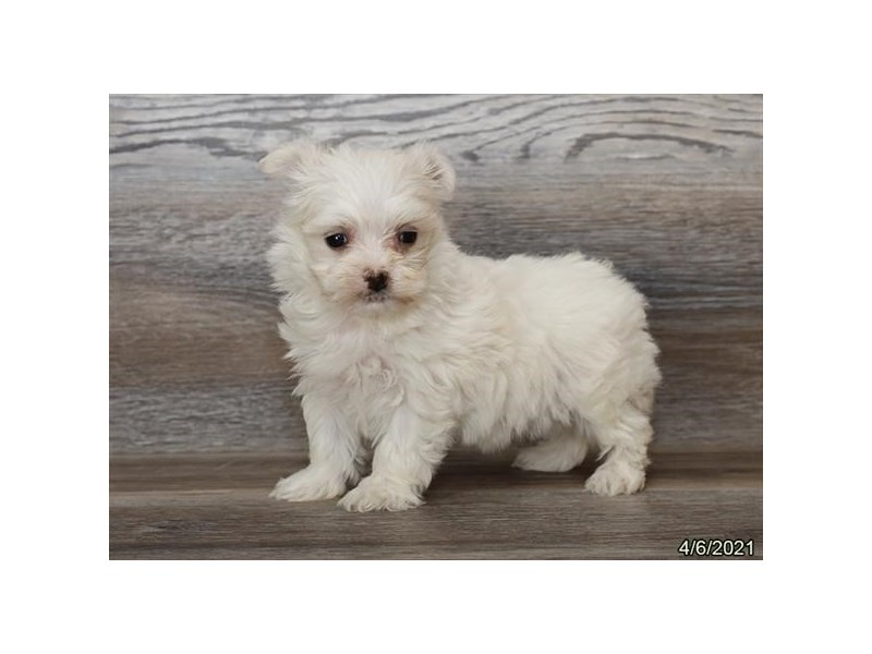 Maltese - Coming Soon-DOG-Female-White-3121599-PetCenter Old Bridge Puppies For Sale